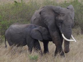 elephants-
