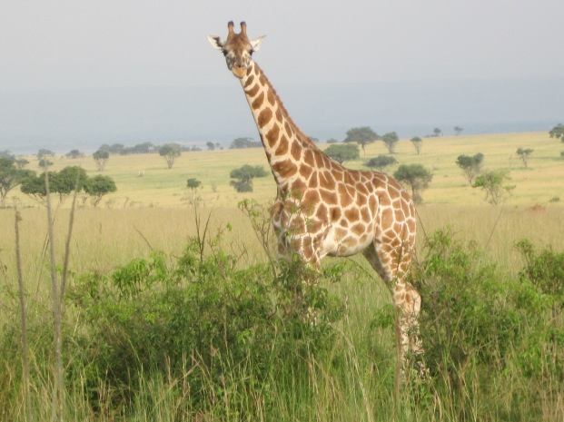 - giraffe 1