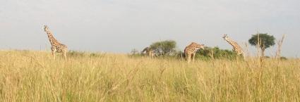 - giraffe landscape (2)