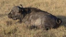 masai mara bulle