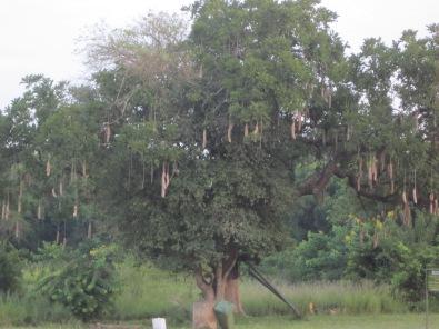 - sausage tree