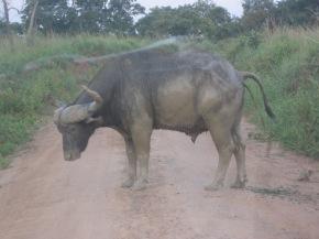 - shitting bull