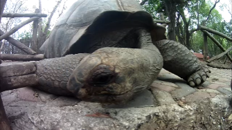 zansibar tortoise