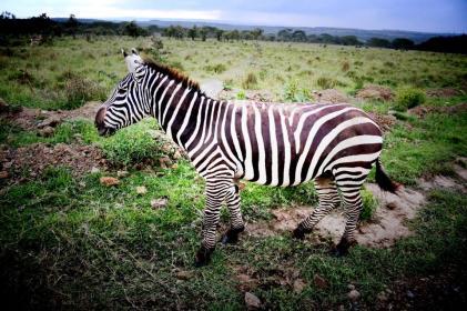 zebra nah