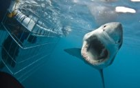 Cape-Town-Shark-Cage-Diving-Gansbaai-White-Shark-Diving-Company