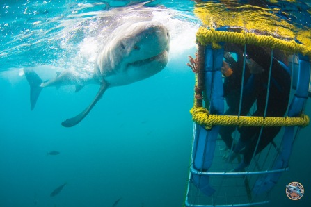 shark - tau000091_suedafrika_gansbaai_tauchen_02